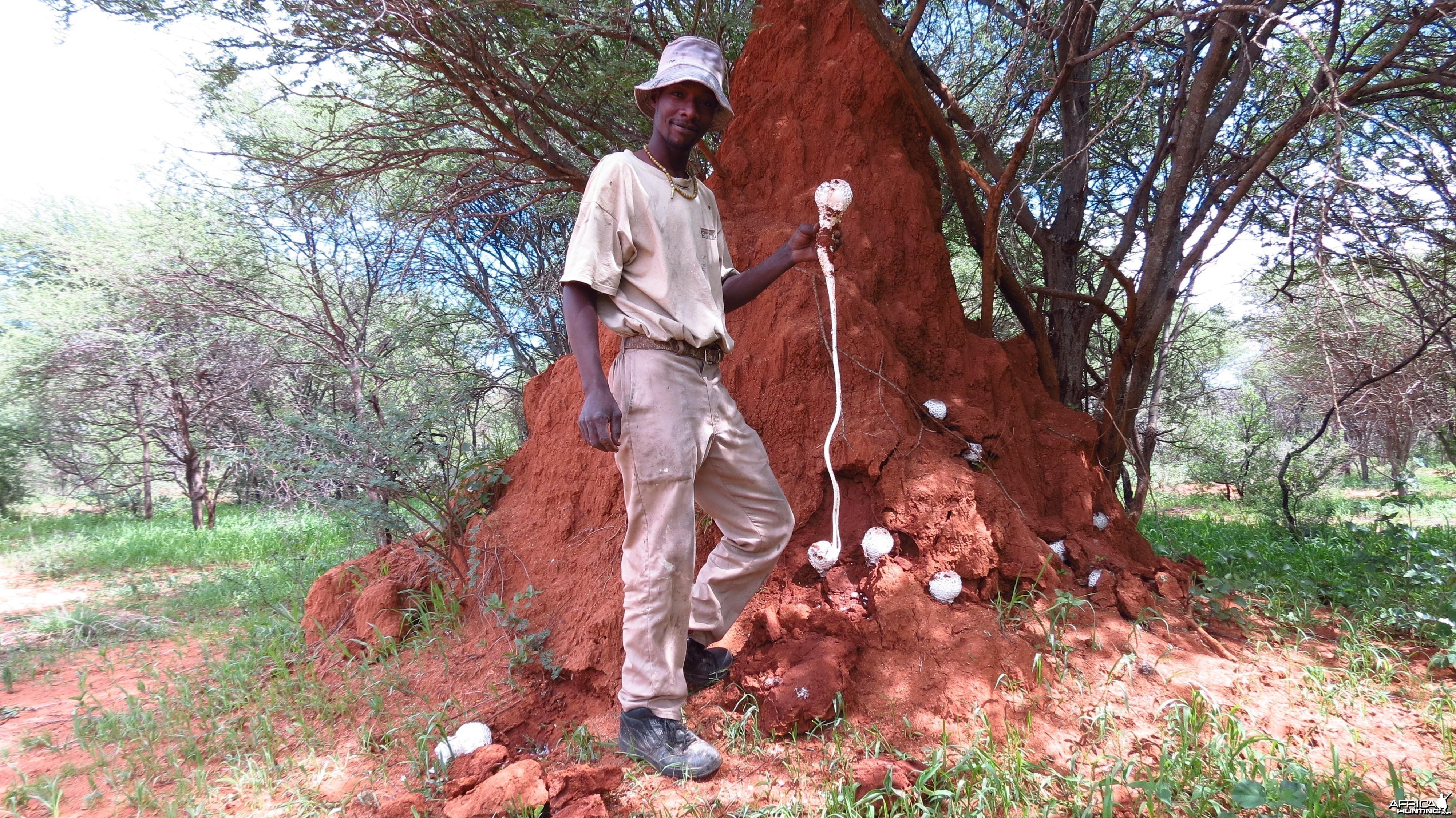 Omajowa termite hill mushrooms Namibia