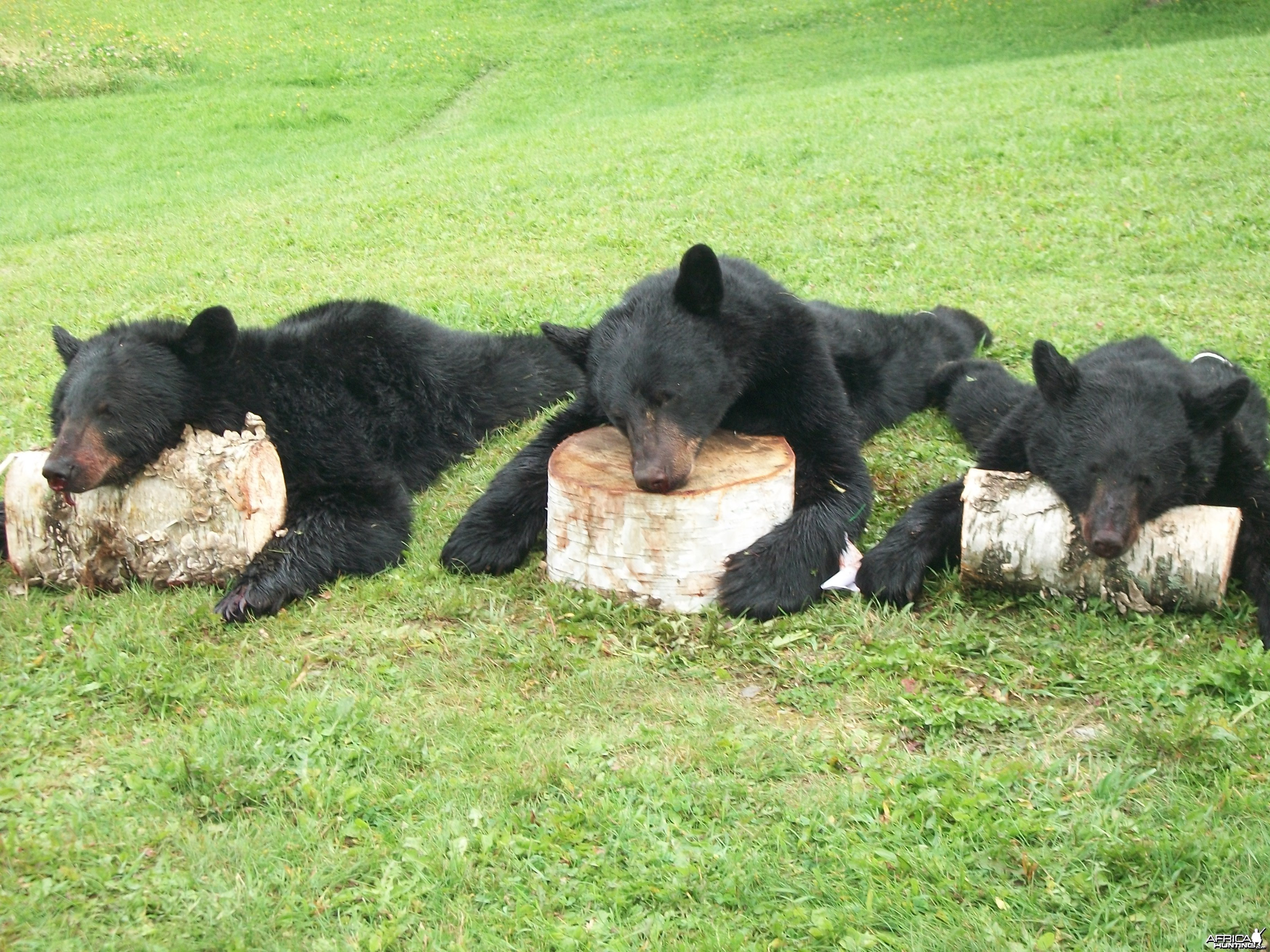 Maine bears