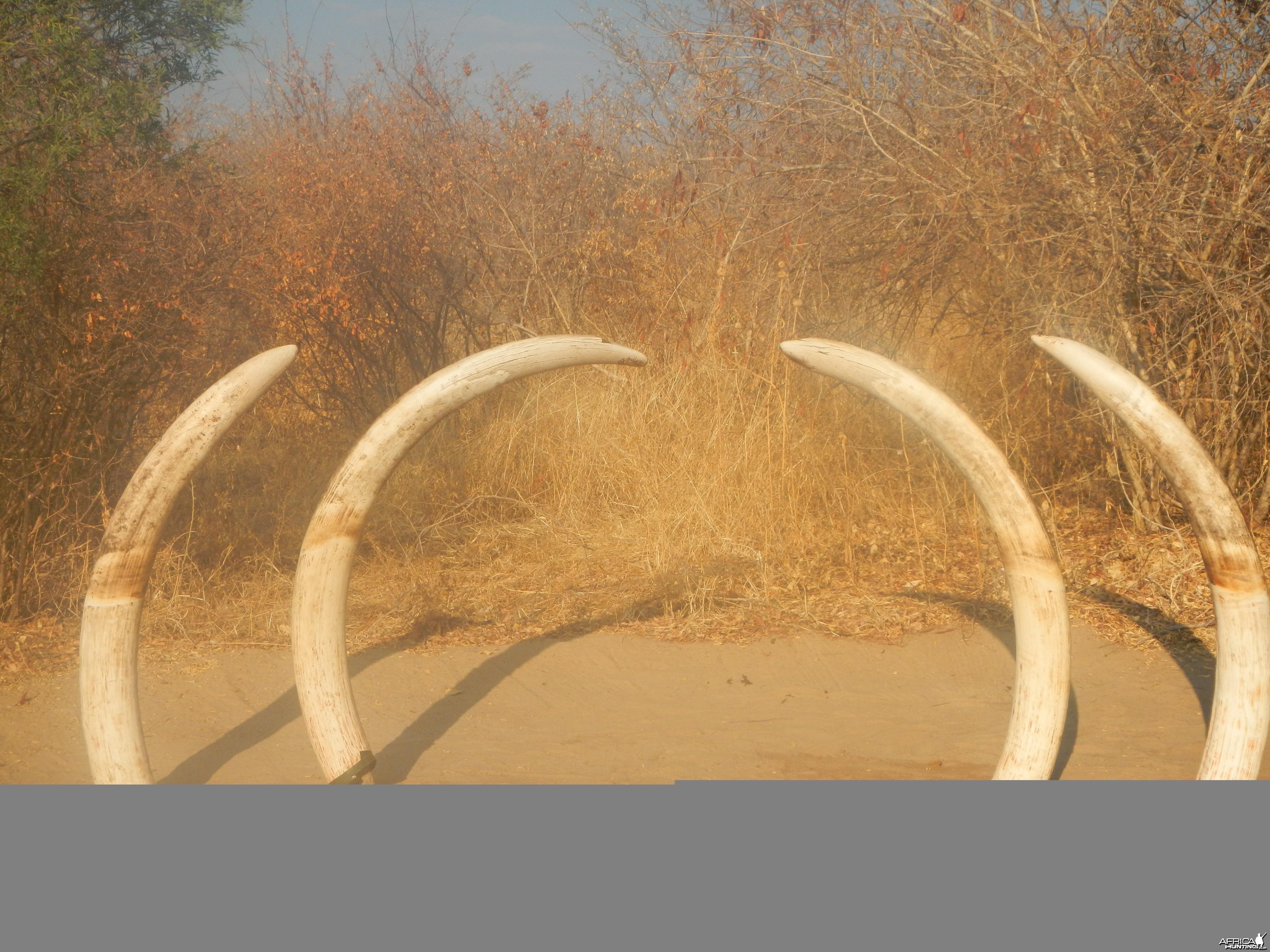 NG41 Botswana Elephants
