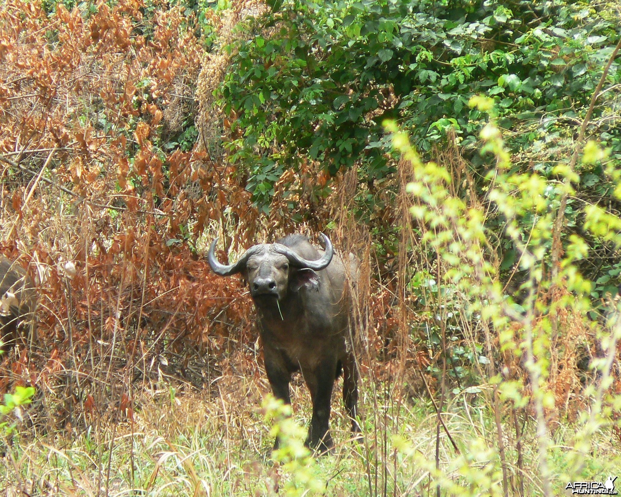 Northwestern buffalo - Central africa