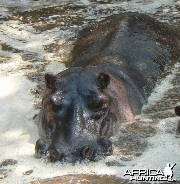 Big hippo bull - Tanzania