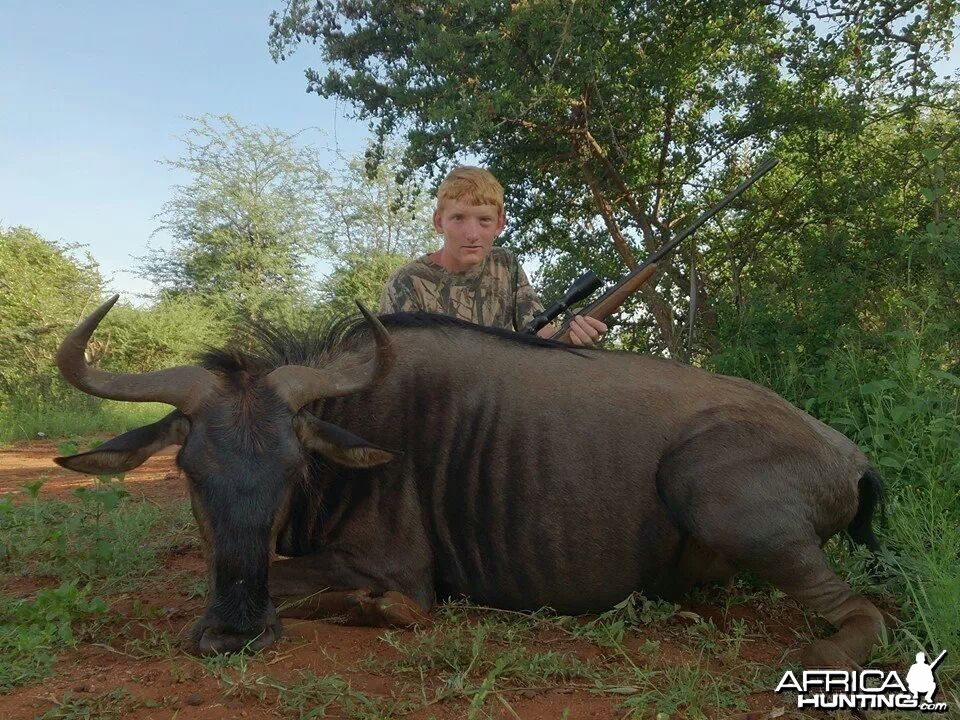 34'' blue wildebeest cow . harmonie safaris.
