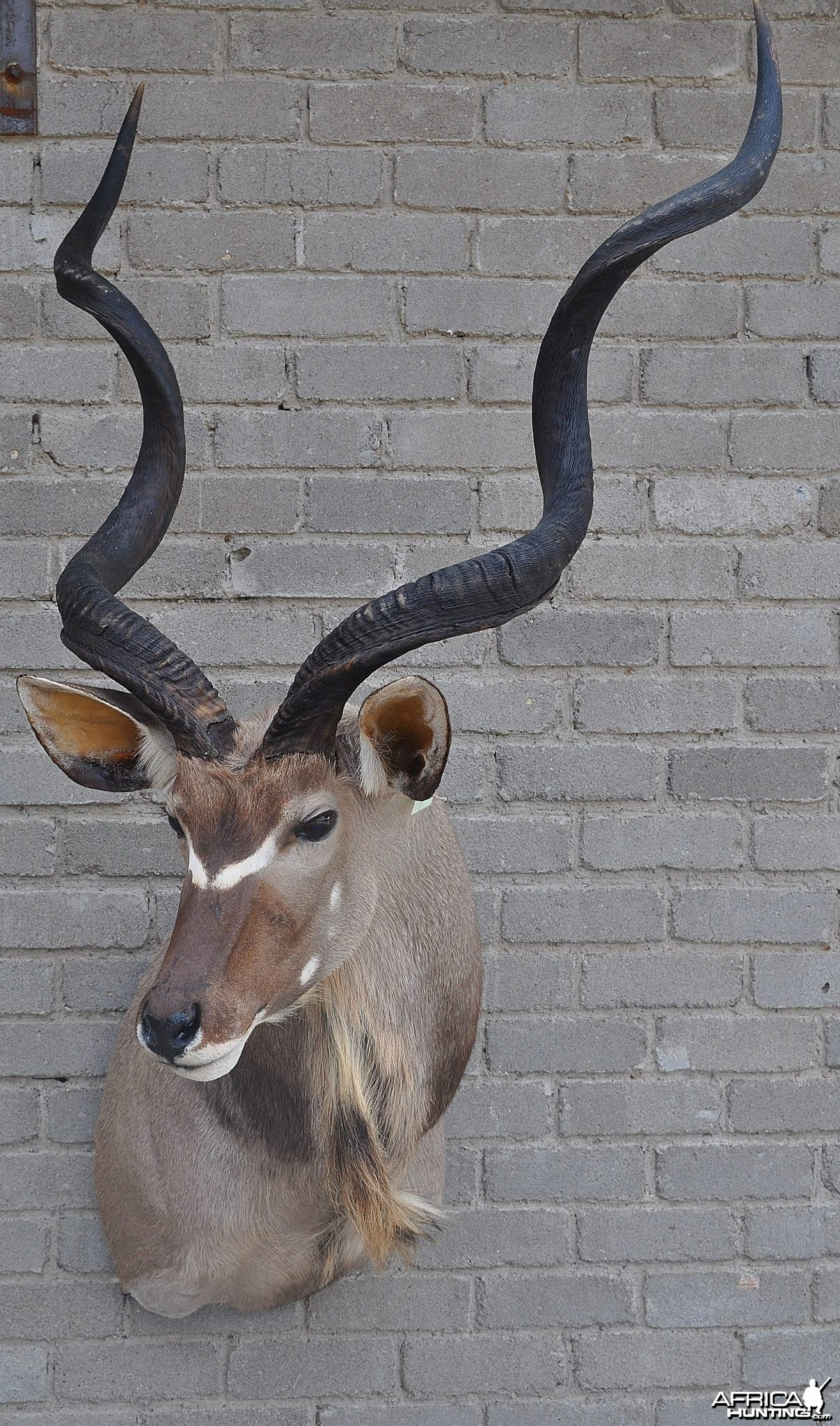 Kudu finished taxidermy
