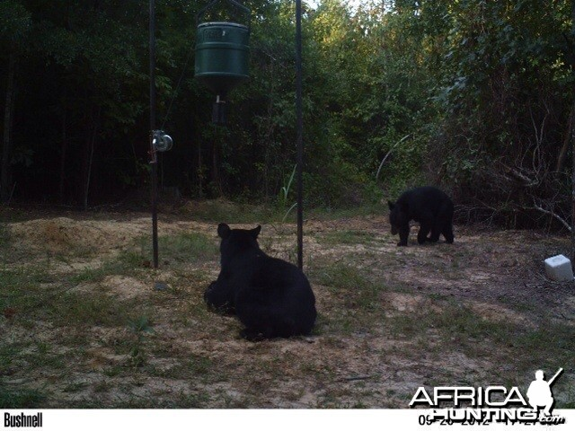 Bears at Arkansas Club