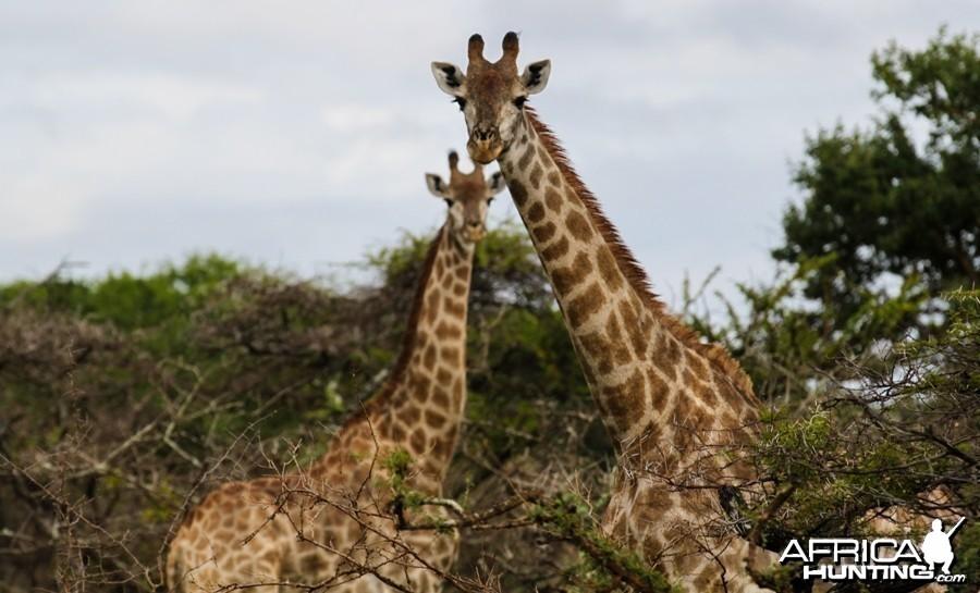 Giraffes at Zululand Rhino Reserve