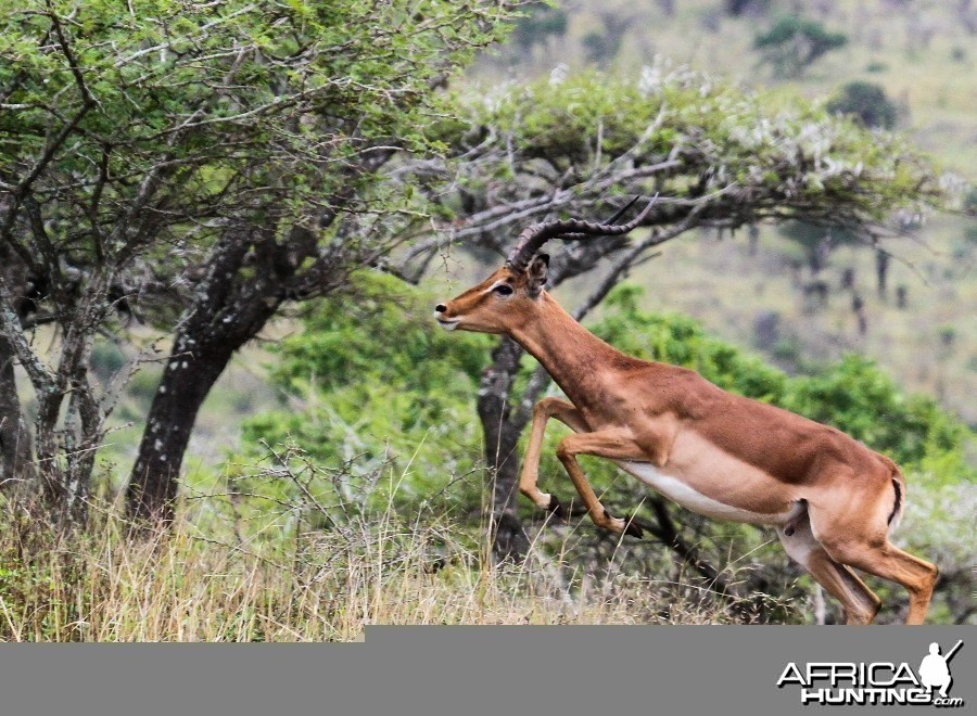 Impala at Zululand Rhino Reserve