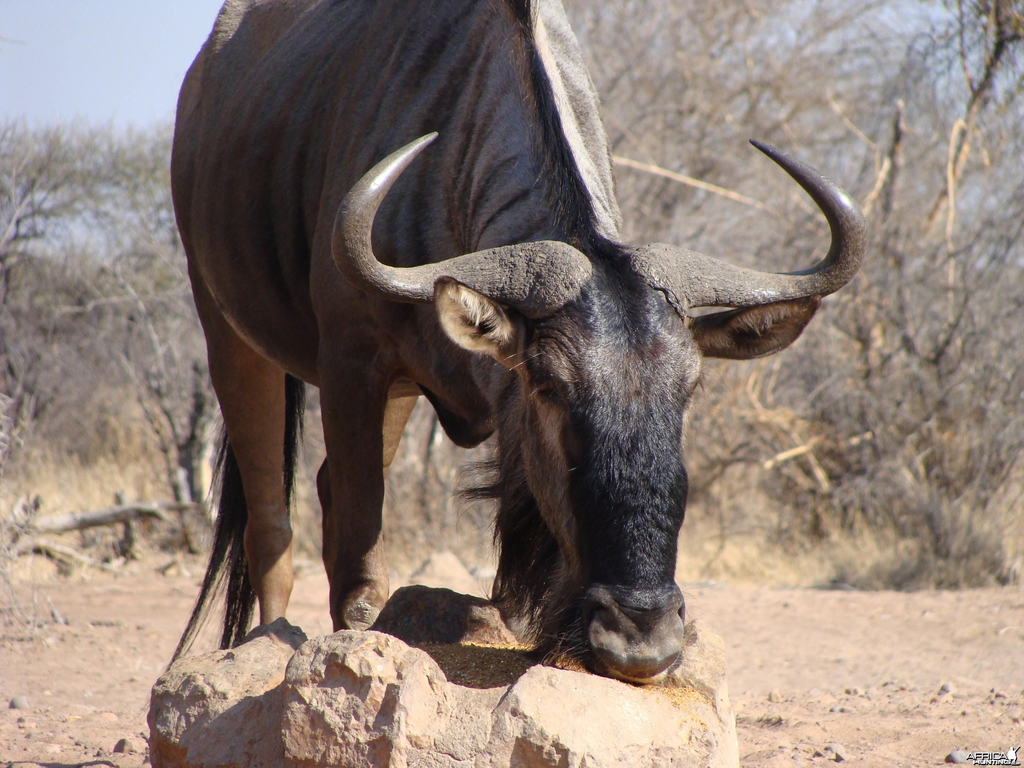Nice bull at 10 yards