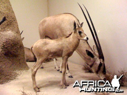 Taxidermy Gemsbok
