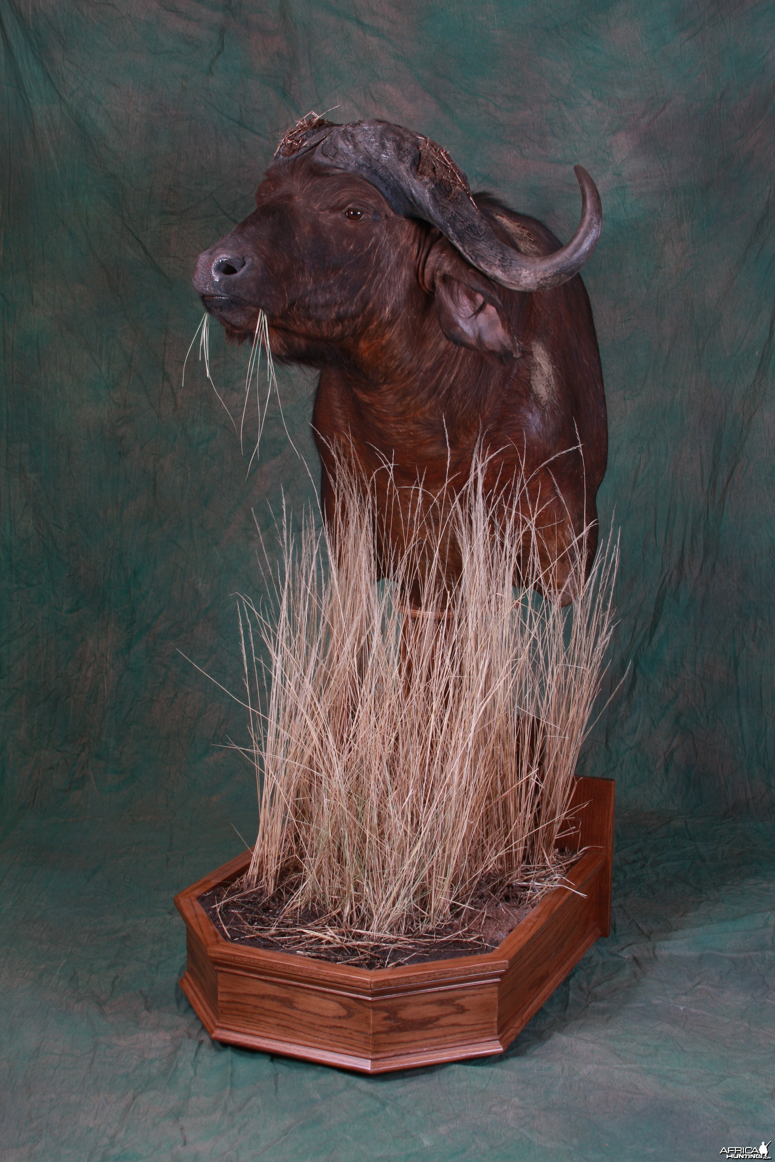 Cape Buffalo Pedestal Mount