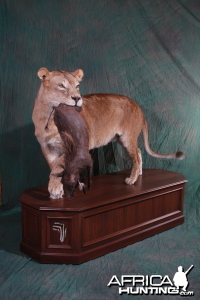 Lioness with young warthog kill by All-American Taxidermy