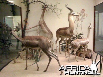 Taxidermy Gerenuk
