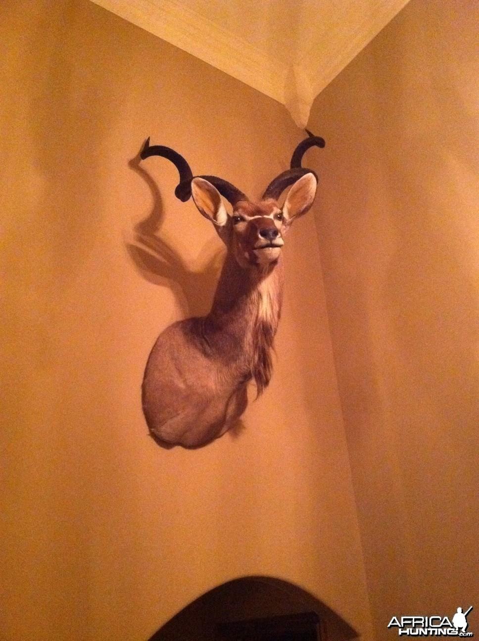 Kudu mount by Capricorn