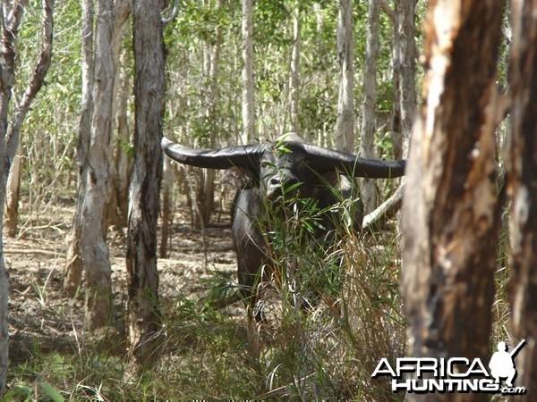 Water Buffalo-Australia