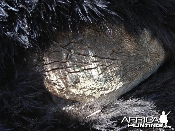 Ostrich breast callus