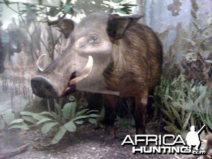 Taxidermy Giant Forest Hog