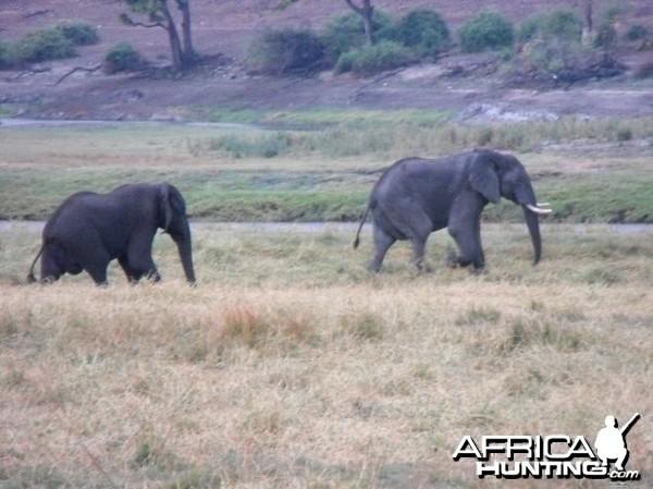 Caprivi elephants