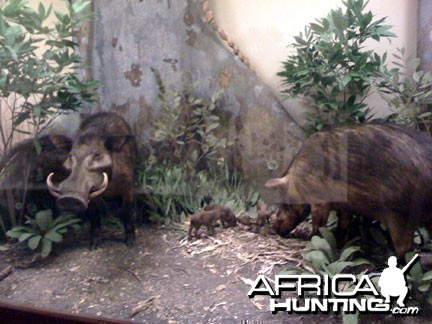 Taxidermy Giant Forest Hog