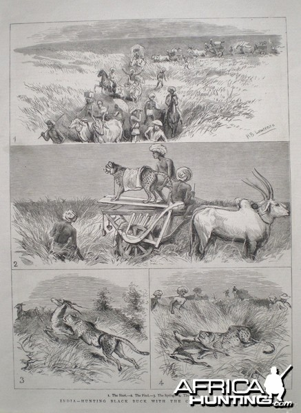 Hunting Black Buck with Cheetah in India 1882
