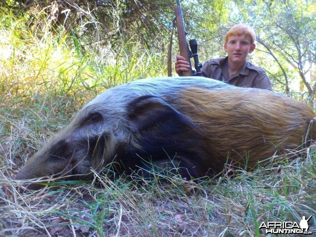 Bushpig shot at King's Kloof.