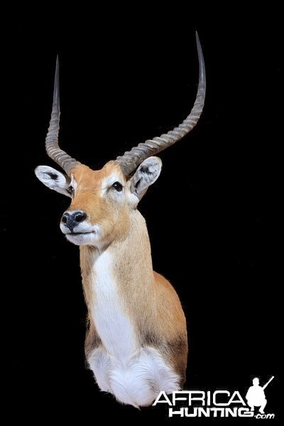 Lechwe shoulder mount by All-American Taxidermy
