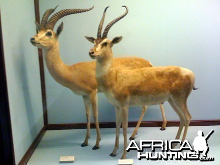 Taxidermy Grant's & Thomson's Gazelle