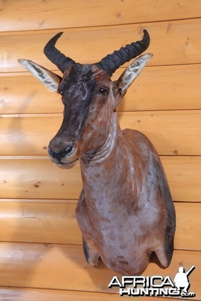 Tsessebe shoulder mount by All-American Taxidermy