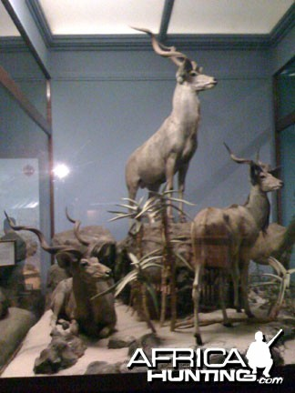 Taxidermy Greater Kudu