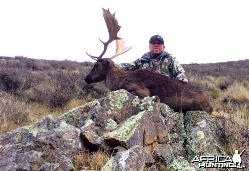 Free range Fallow Buck