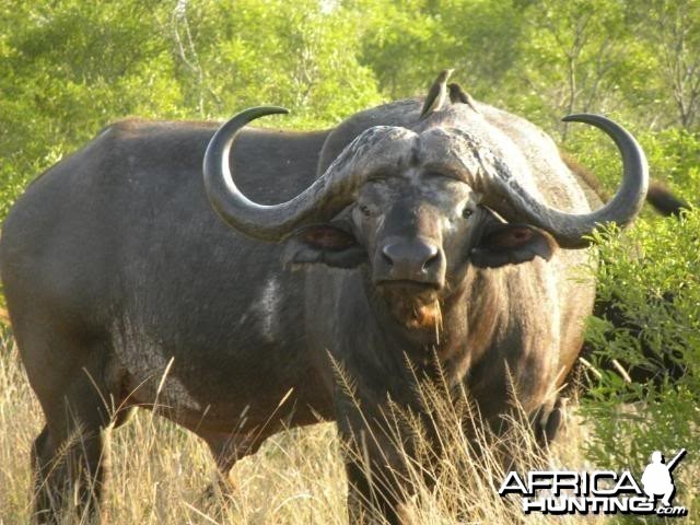 Cape Buffalo in South Africa