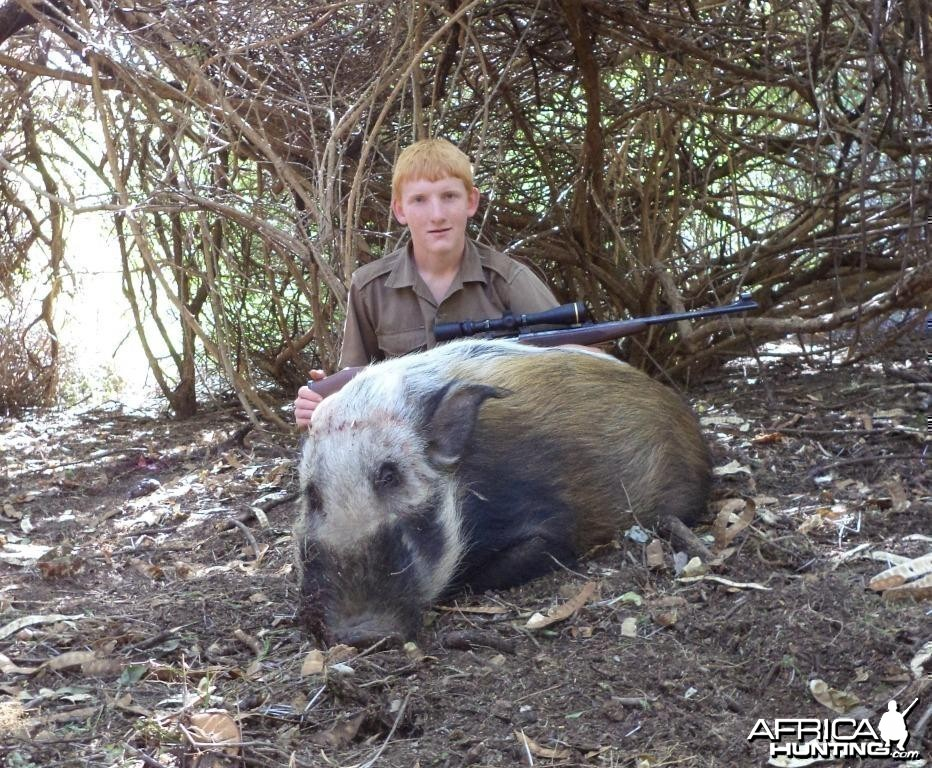African Bushpig shot at King's Kloof