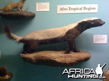 Taxidermy Honey Badger