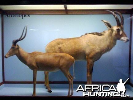 Taxidermy Impala & Roan Antelope