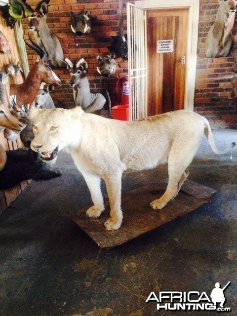 Lioness at Taxidermist