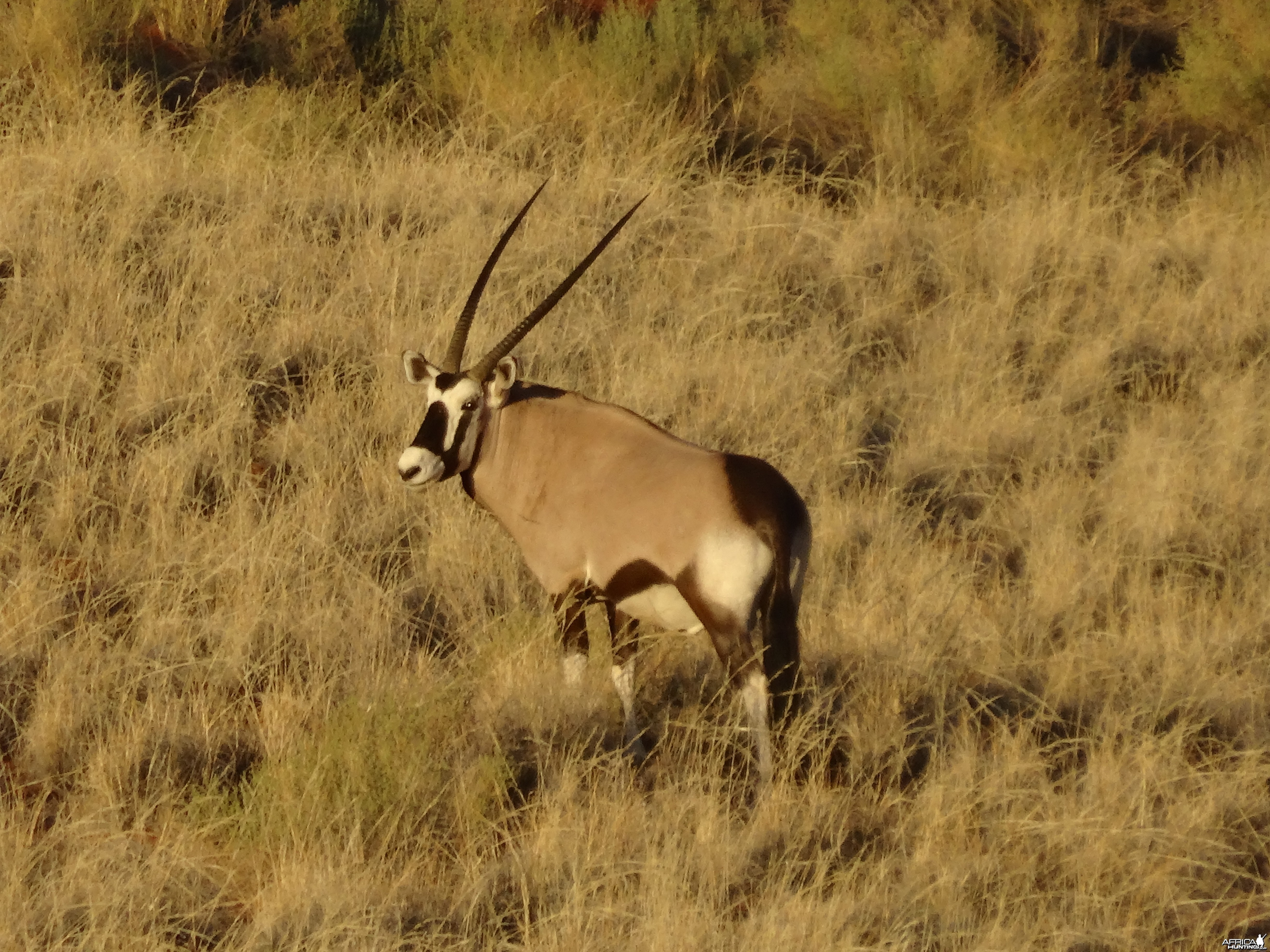 oryx in white hair grass
