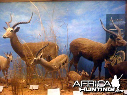 Taxidermy Impala, Thomson's Gazelle & Sitatunga
