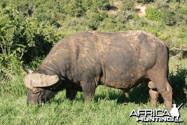 Buffalo Bull (Dagga Boy)