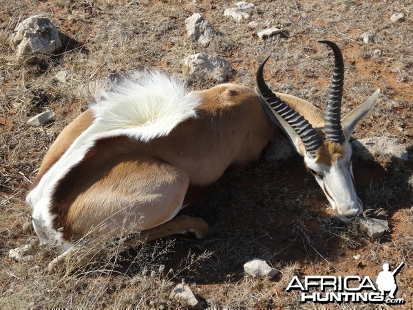 springbok young ram flared