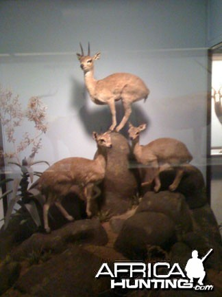 Taxidermy Klipspringer