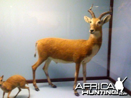 Taxidermy Kob