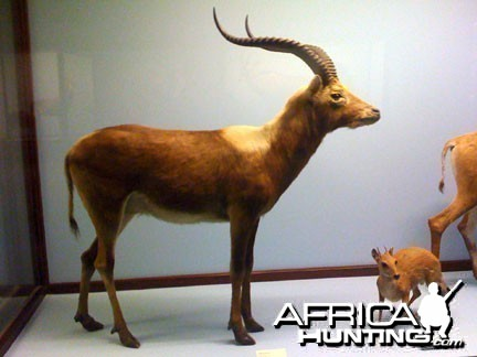 Taxidermy Lechwe & Grysbok