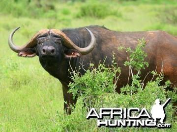 A fine bull