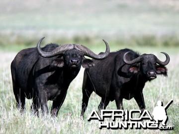 Special Buffalo Bull
