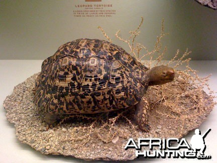 Taxidermy Leopard Tortoise