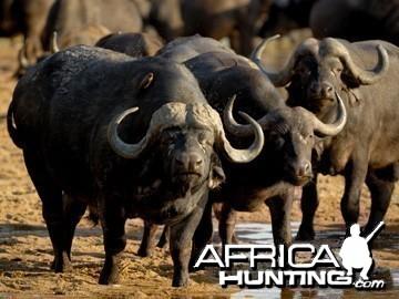 Classic Trophy Buffalo Bull
