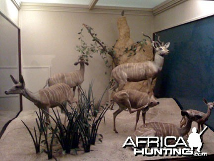 Taxidermy Lesser Kudu