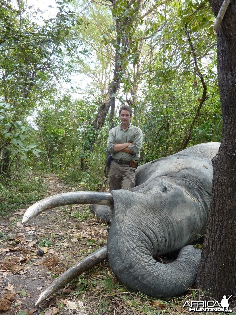 Elephant Hunted in Selous Tanzania - 62 x 63 pounds 185