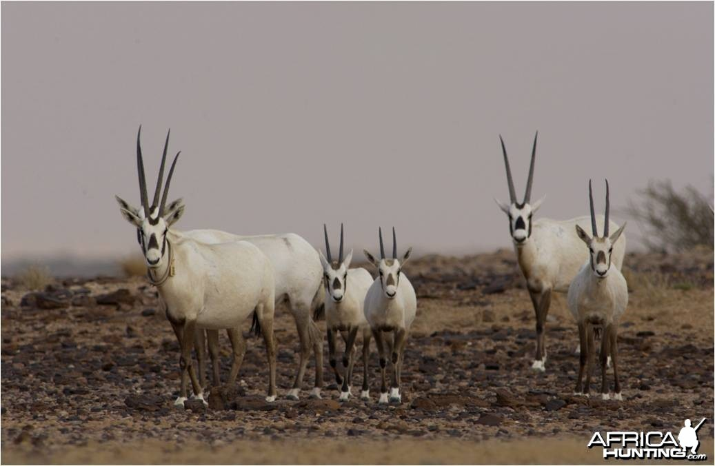 The Arabian Oryx � Oryx leucoryx