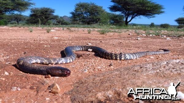 Zebra Spitting Cobra aka Zebra Snake