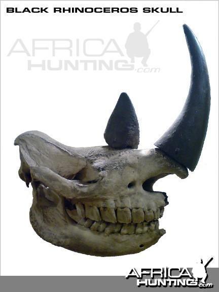 Black Rhino Skull