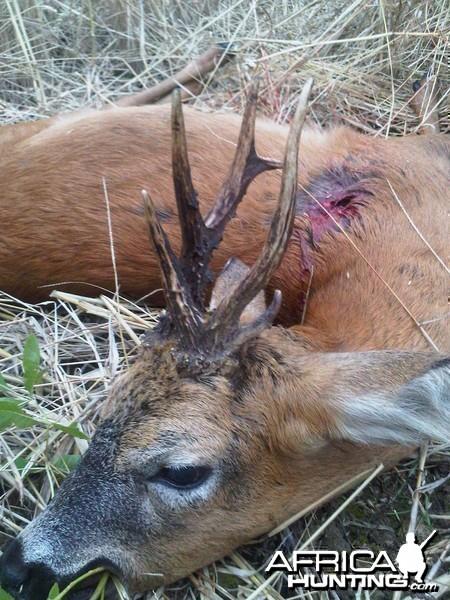 Abnormal roe buck